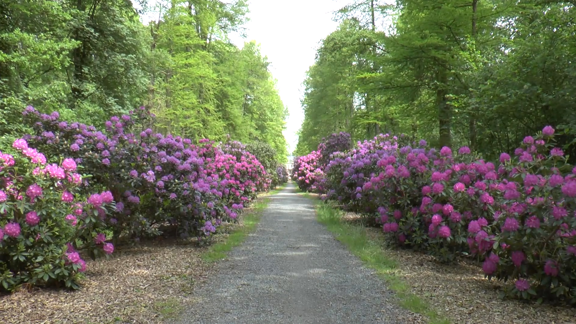 Rhododendron-Allee